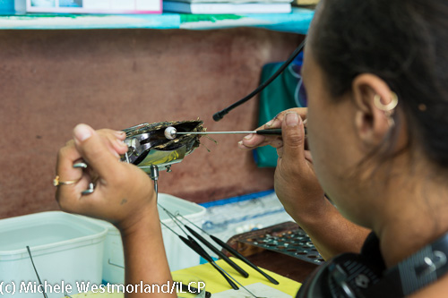 A technician implants the nucleus that will be the base for the pearl.