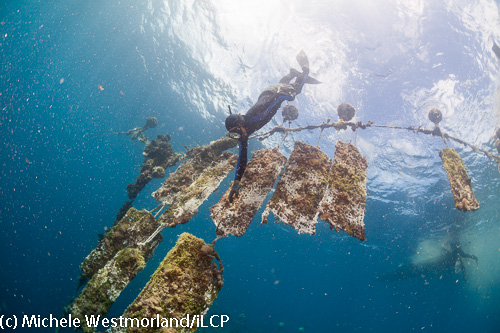 One of the Tahitian free divers retrieving an oyster filled screen.