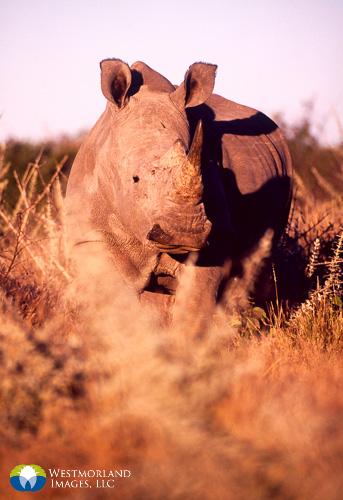 White rhino photographed in Zimbabwe